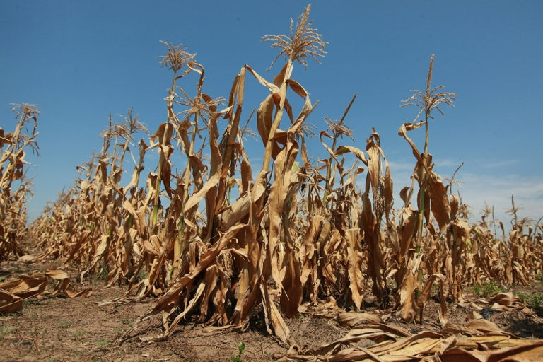 <p>Corn plants struggle to survive in a drought-stricken farm field on July 19, 2012 near Oakton, Indiana. The corn and soybean belt in the middle of the nation is experiencing one of the worst droughts in more than five decades. Indiana was the nation's fourth largest corn producer in 2011.</p>