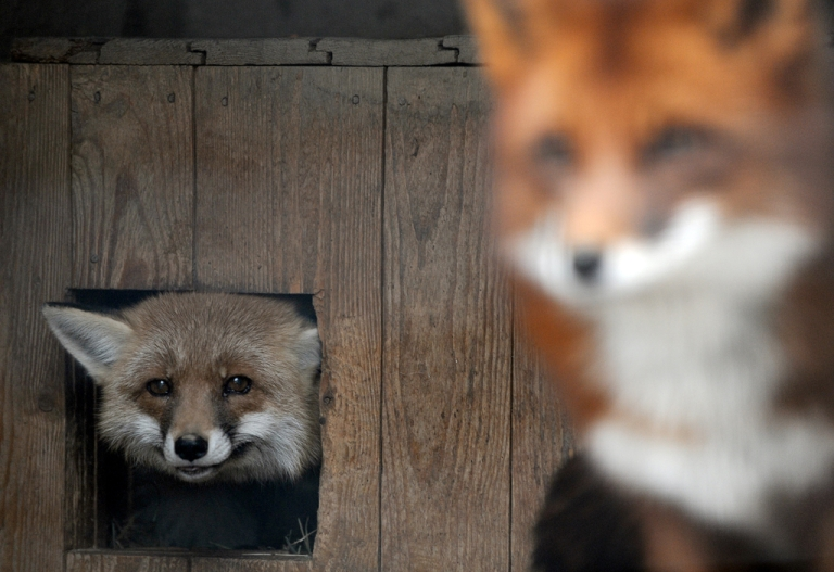 <p>A baby boy is recovering after a fox dragged him from his cradle in London and bit off one of his fingers.</p>