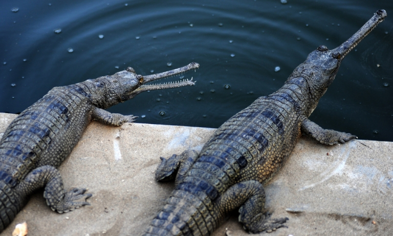 <p>Gharial crocodiles are seen at the reptile breeding farm in Chitwan National Park. The Chitwan National Park released 40 young Gharials into the wild on Wednesday. Chitwan is the first wildlife park in Nepal, and provides a safer environment for endangered species such as the one-horned rhino and the royal bengal tiger.</p>