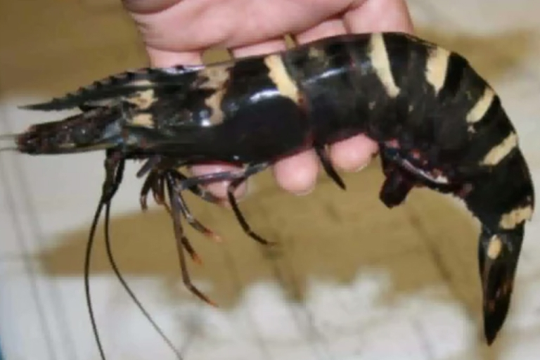 <p>Giant tiger shrimp have multiplied in US waters raising worries about native marine life.</p>