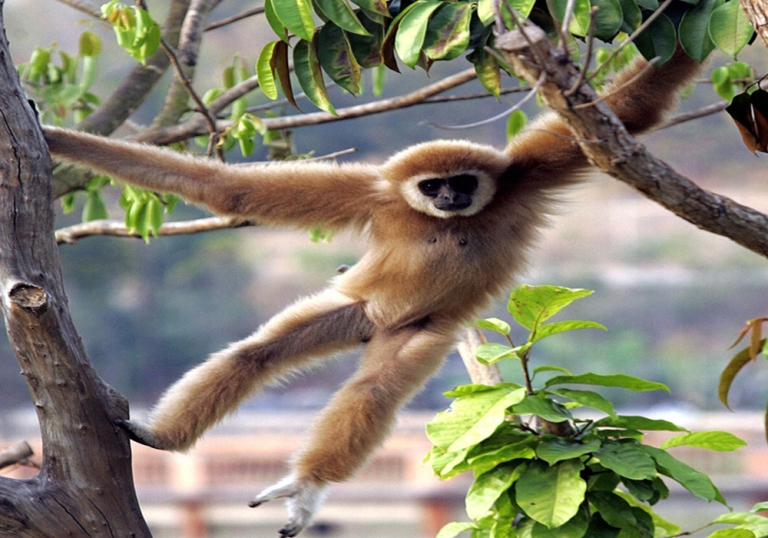 <p>Japanese researchers gave helium to gibbons to get clues about how the vocal system works. Gibbons