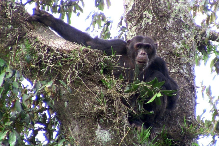 <p>An adult male chimpanzee living in the Gishwati forest.</p>