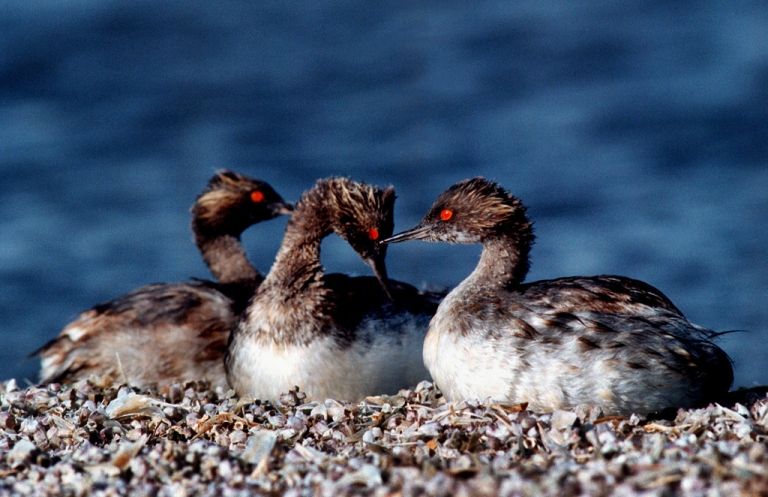 <p>Thousands of migrating grebes crash-landed in a Walmart parking lot and other areas in Utah.</p>
