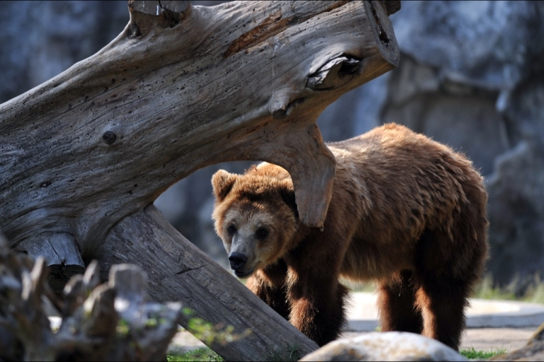 <p>The 500-pound captive brown bears worked on films and television commercials.</p>