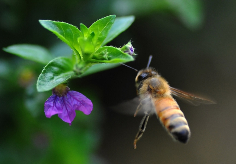 <p>A honeybee hovers over a flower. A new study has found that a parasitic fly may be responsible for decimating bee populations.</p>