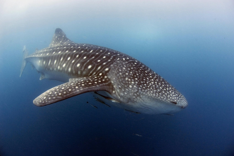 <p>A whale shark, nearly six meters long, swims near the surface of the plankton-rich water of Donsol town, on May 24, 2007.</p>