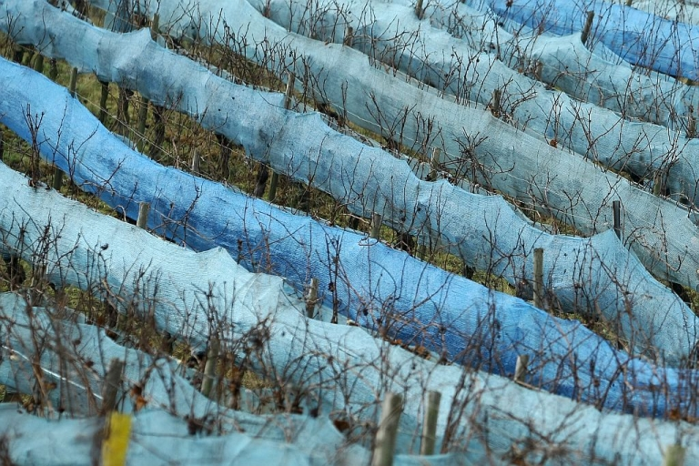 <p>Pinot gris vines destined for ice wine production are wrapped into a protection foil on January 10, 2012 in a vineyard near Dromersheim, western Germany.</p>