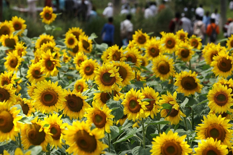 <p>Indian farmers walk past a field of sunflowers.</p>