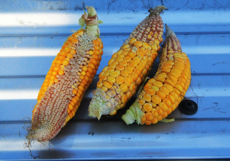 <p>Drought afflicted ears of corn sit in the sun at Maple Lawn Farms near Keokuk, Iowa on August 6th 2012.</p>