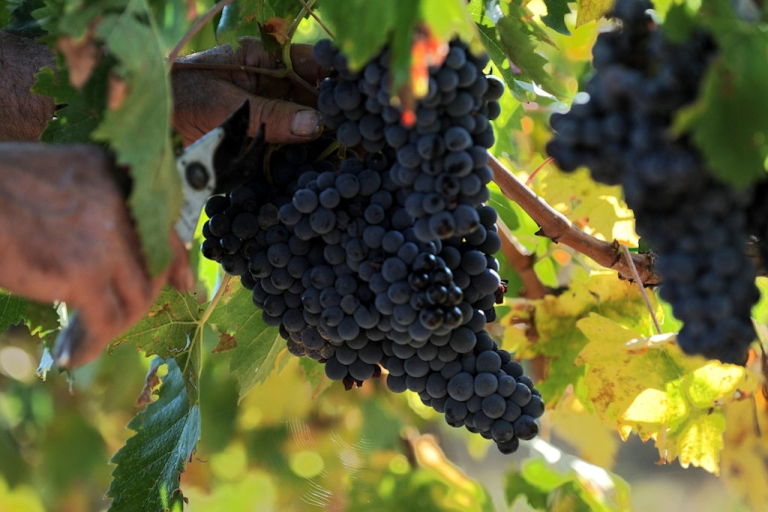 <p>A worker picks grapes during the harvest in Val D'Orcia, in the Tuscany region of Italy, on Oct. 9, 2008. The Val D'Orcia is the home of some of the most valuable Italian wines, including Brunello di Montalcino, Nobile di Montepulciano and Chianti Colli Senesi.</p>