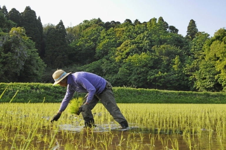 <p>A Japanese farmer works in a rice paddy.</p>