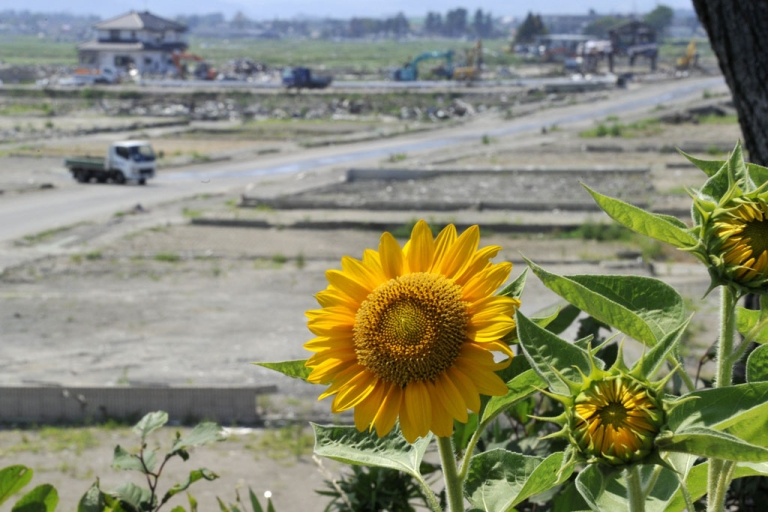<p>Sunflowers are seen in the tsunami-hit field in Natori, in Miyagi prefecture on July 15, 2011. Japan has launched a campaign to grow sunflowers to help decontaminate radioactive soil.</p>