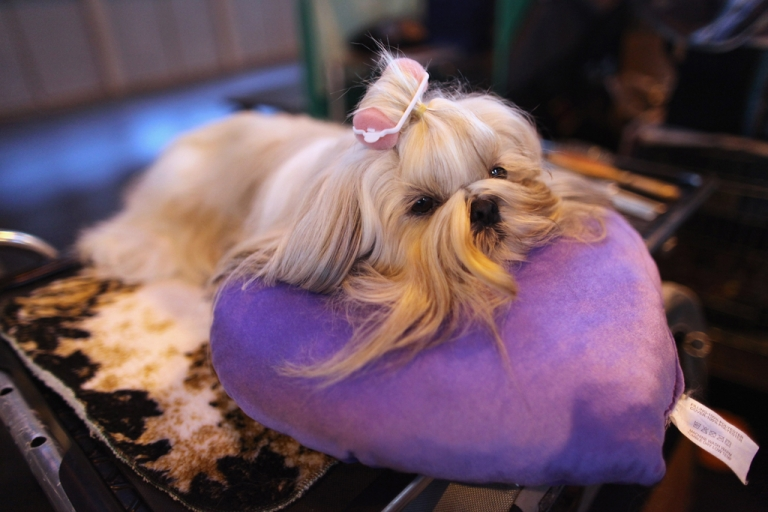 <p>A Shih Tzu dog waits to be groomed at the Crufts dog show in Birmingham, England, on March 13, 2011.</p>