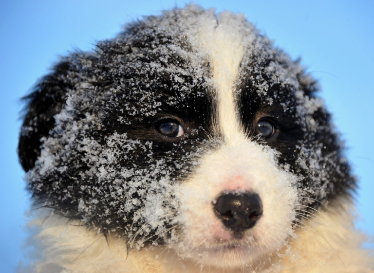 <p>This Border Collie puppy is disappointed in you.</p>