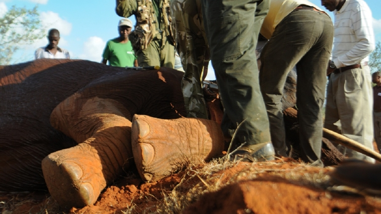 <p>A sedated Elephant is processed and collared by experts at Kenya's Tsavo-east National park in Mar. 2012 as part of efforts to crackdown on a dramatic increase in poaching.</p>