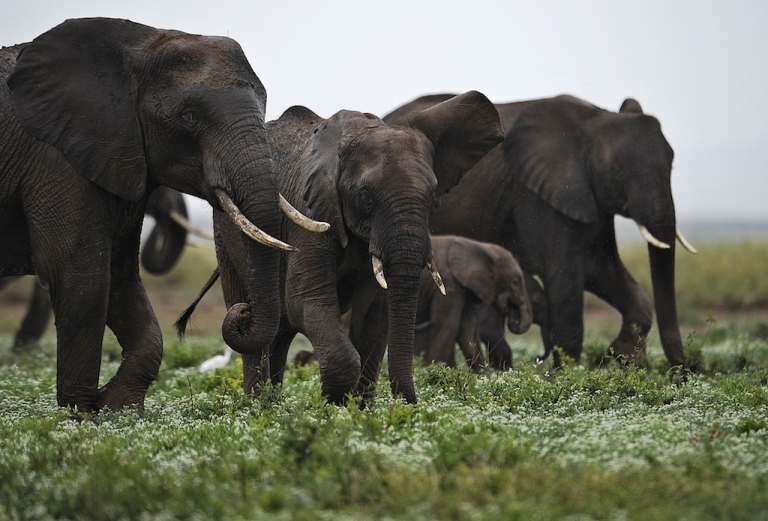 <p>Elephants at the Amboseli game reserve, south of Kenyan capital Nairobi on Dec. 30, 2012.</p>