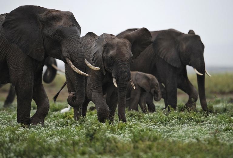 <p>Elephants at the Amboseli game reserve, south of Kenyan capital Nairobi on Dec. 30, 2012.</p>