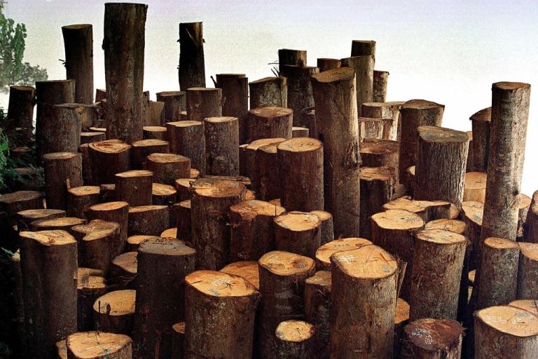 <p>Freshly cut trees.</p>