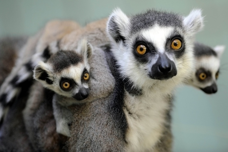 <p>Two ring-tailed lemur babies sit on their mother's back at the zoo in Frankfurt, Germany, on Mar. 30, 2010.</p>