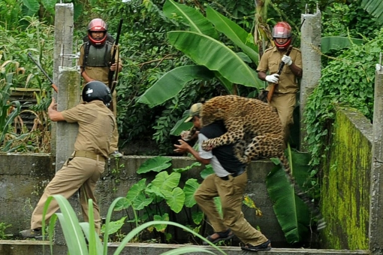 <p>A leopard attacks a forest guard at Prakash Nagar on the outskirts of Siliguri in West Bengal, India on July 19, 2011. Forest officials made several attempts to tranquilize the full-grown leopard after it attacked six villagers.</p>