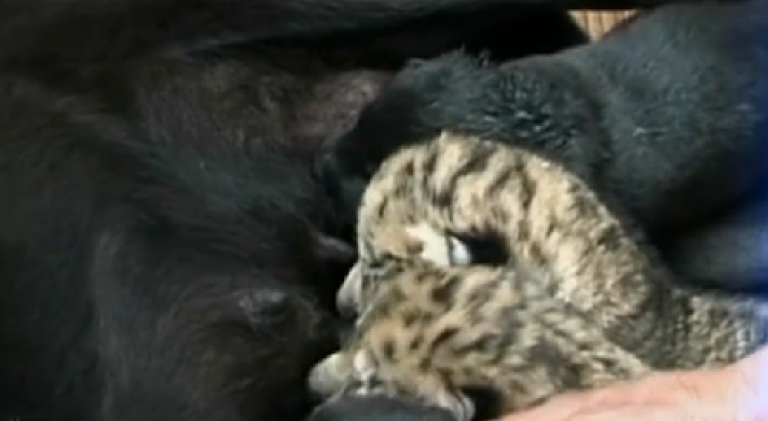 <p>Liger cubs, bred from a tiger and lion, breastfeed from a dog in Shandong, China in this frame grab from 9 News NBC.</p>