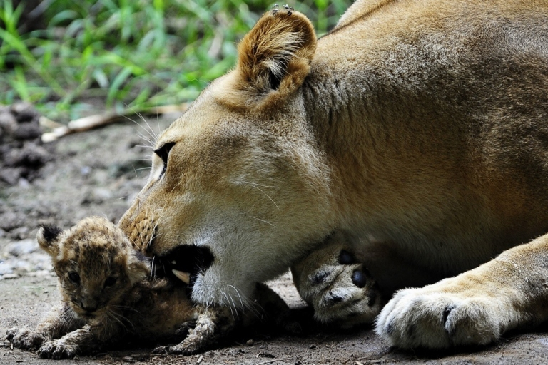<p>A lioness in Kenya rescued a little cub from a cliff. Here a lioness grooms her cub.</p>