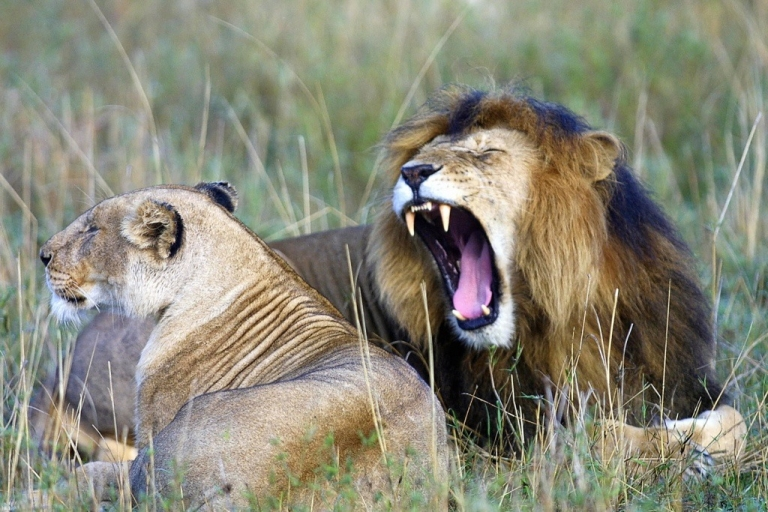 <p>An lion yawns next to a lioness in kenya's Maasai Mara National Park, approximately 200 miles southwest of Nairobi.</p>