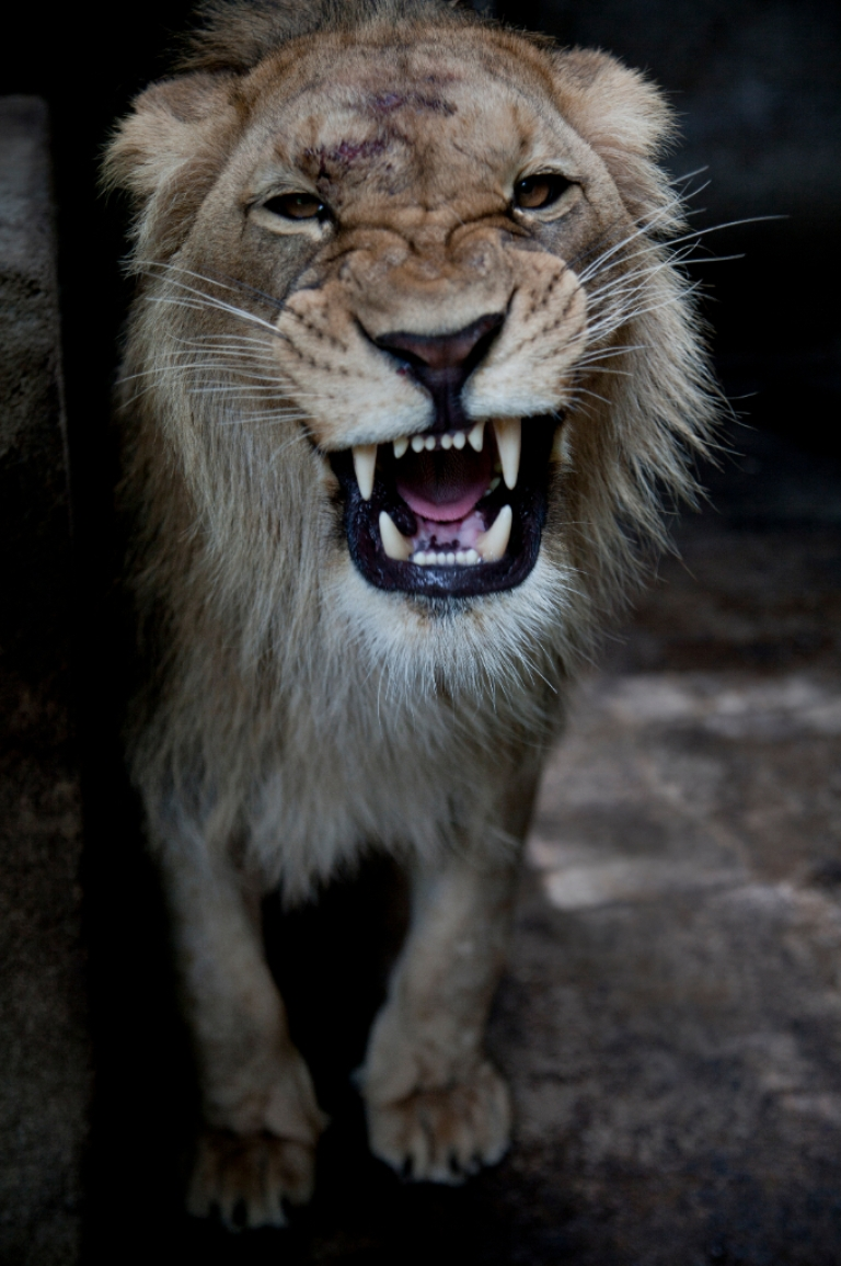 <p>Not a beast you'd like to meet on the street: British citizens in Essex are told to stay indoors following reports of a lion sighting late Sunday night. Here, an African lion is seen in his new dwelling at Managua's Zoo on July 13, 2012.</p>