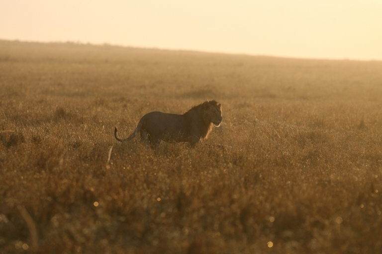 <p>A new study found that lions are most dangerous to humans when the moon is faint or below the horizon.</p>