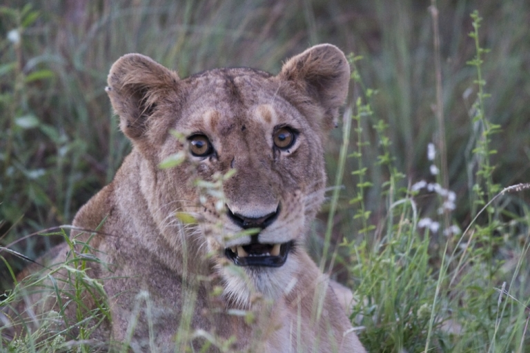 <p>A lioness at Kruger National Park, South Africa. A longtime employee of the Johannesburg Zoo was attacked and killed by a lioness at a farm owned by the zoo, on Feb. 14, 2012. Joe Ramanata, 65, had worked for the zoo for more than 40 years.</p>