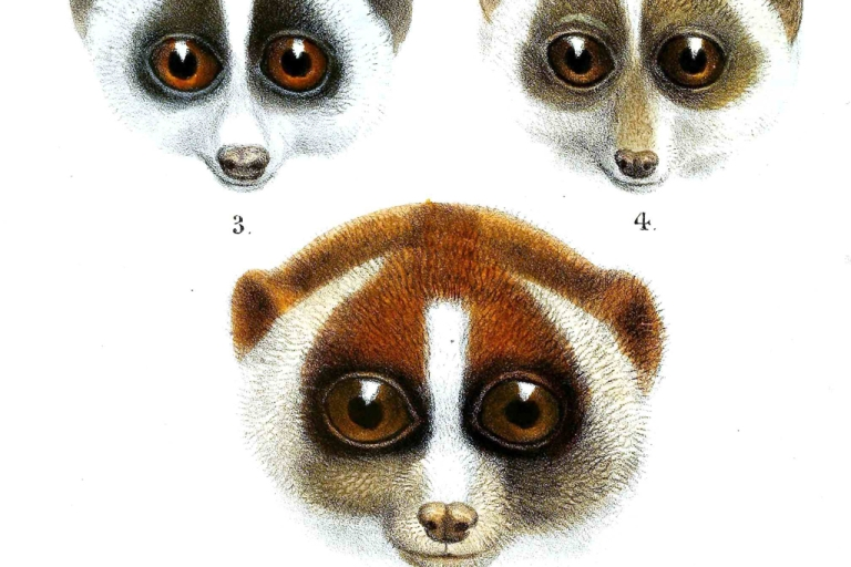 <p>A new study has found the two-tongued, venomous loris has more species than once believed.</p>