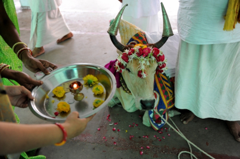 <p>Indian devotees participate in a ritual as they take blessings from a seven year old holy cow 'Ganga' at the Lord Jagannath Temple in Ahmedabad on June 29, 2011. Cow worship in India is ages-old as amongst other reasons, the cow provides milk, the urine is used in the making of Ayurvedic medicines and cowdung is used as fuel in many villages.</p>