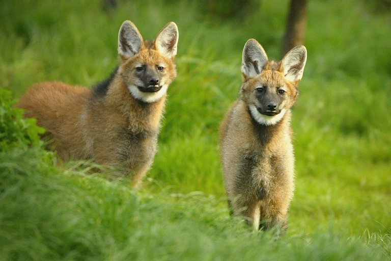 <p>Maned wolf pups at the Edinburgh Zoo, Scotland. The Brazilian government's agricultural research agency has launched a conservation project to clone these and other species, including jaguars, collared anteaters, a variety of bison and the black lion tamarin monkey.</p>