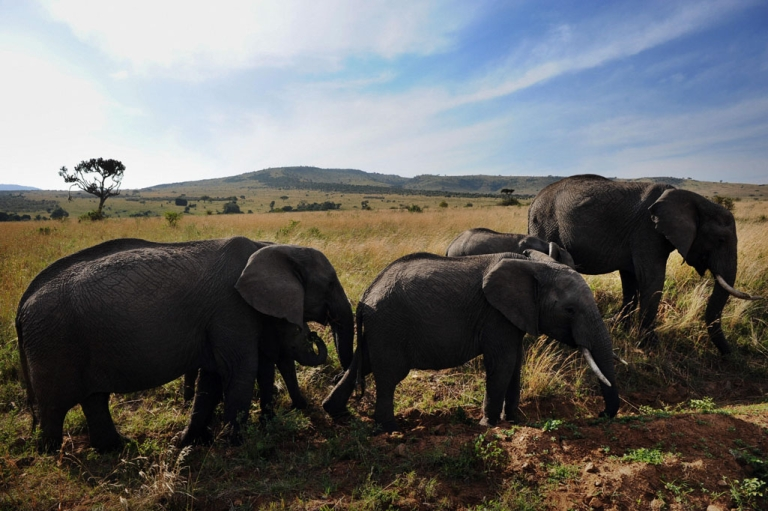 <p>Animals galore no more? A new report says that numbers of wildlife have fallen drastically in Kenya's Masai Mara national park, largely thanks to poaching and a massive increase in cattle grazing.</p>