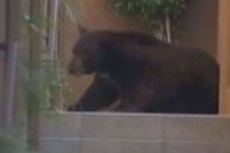 <p>Fish and Wildlife officers tranquilized Meatball after its latest foraging trip through a California neighborhood.</p>