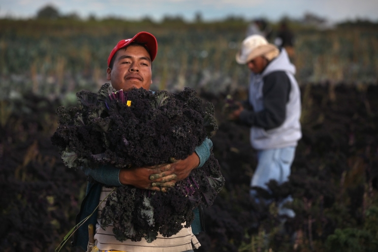 <p>Mexican migrant workers harvest organic kale at Grant Family Farms on October 11, 2011 in Wellington, Colorado.</p>