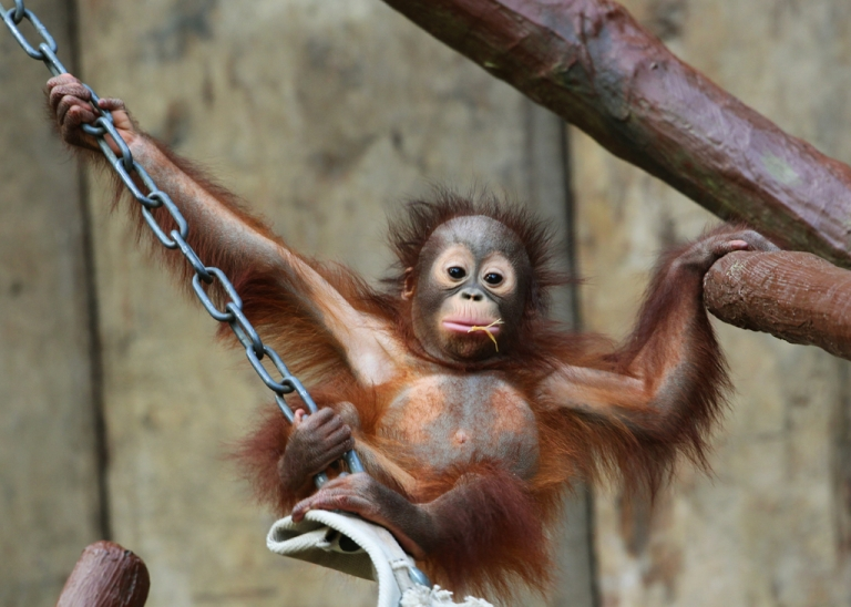 <p>An Orangutan baby practices some gymnastics.</p>