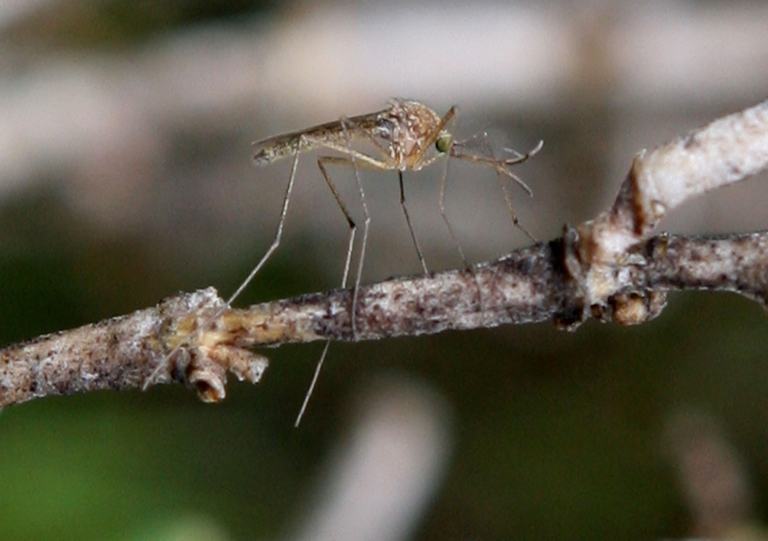 <p>Dengue fever, transmitted by mosquitoes, is estimated to affect around 50 million people around the world, says the WHO.</p>