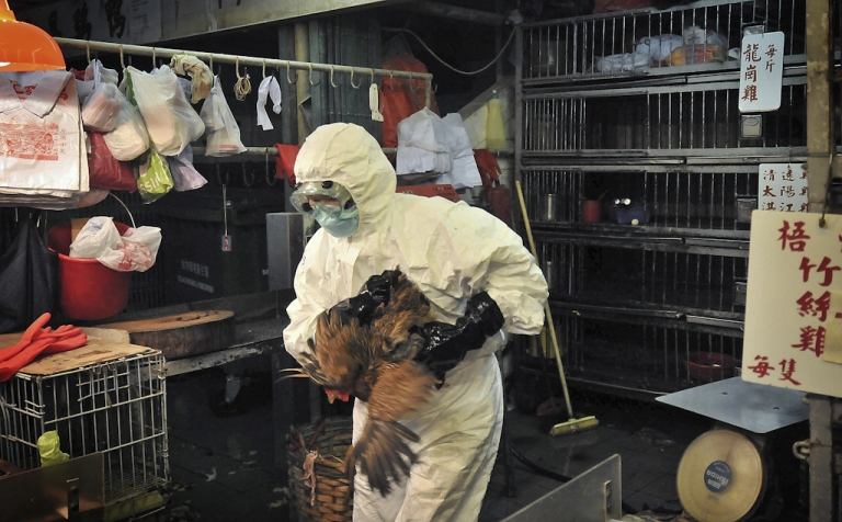 <p>Staff wearing protective clothing cull chickens in a Sham Shui Po market after the deadly H5N1 bird flu virus was found in samples collected from the market's poultry stalls in Hong Kong, on June 7, 2008. The United Nations warned on August 29, 2011 that avian flu shows signs of a resurgence, and a mutant strain could be spreading in China and Vietnam.</p>