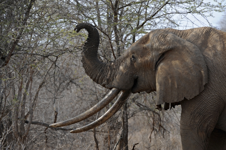 <p>An elephant uses its trunk to reach the upper branches of a tree over the dry brush as it searches for food at the Tsavo West National Park in southern Kenya on August 21, 2009. Poaching for elephant and rhino tusks has been on the rise in Africa since the 2007 partial lifting of an international trade ban to allow a one-off sale to China and Japan by Botswana, Namibia, South Africa and Zimbabwe, the Kenya Wildlife Service said.</p>