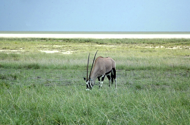 <p>A wild oryx in the Etosha National Park in northern Namibia. Etosha (literally 'the great void') refers to the shallow depression of some 5,000 square kilometres, covering around a quarter of the park, that was once a lake but now only fills up with water during a good rainy season. Scientists digging in Etosha park have uncovered fossils they say are the first animals.</p>