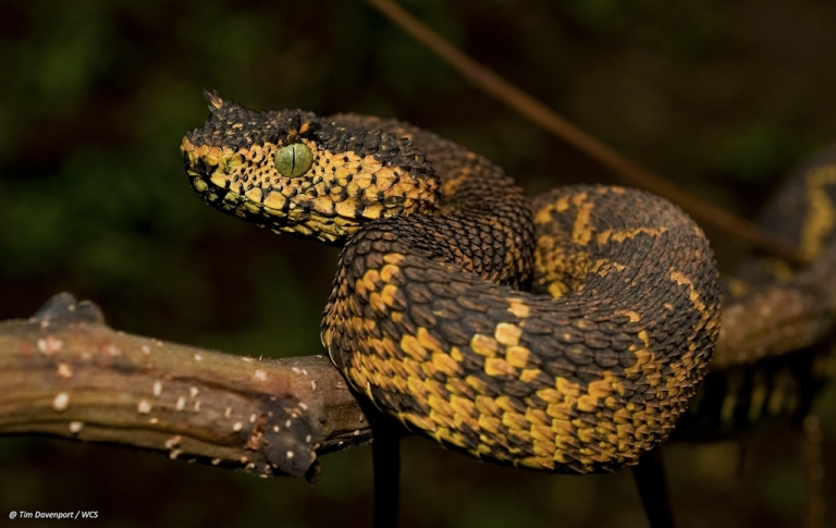 <p>A new snake species was discovered in southwest Tanzania. The snake is called Matilda's Horned Viper (Atheris matildae) after the 7-year-old daughter of  Tim Davenport, director of the Wildlife Conservation Society in Tanzania one of the three people who discovered the viper.</p>