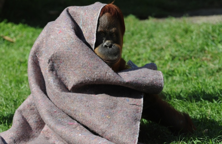<p>This is not Shirley the smoking orangutan. . . An orangutan protects himself from the cold with a blanket provided by vets at Rio de Janeiro's zoo on July 11, 2011</p>