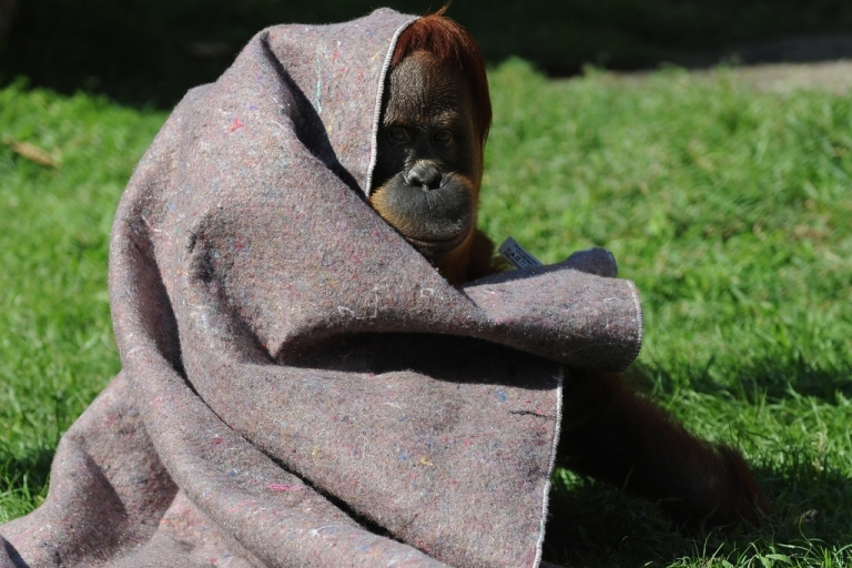 <p>An orangutan protects himself from the cold with a blanket provided by vets at Rio de Janeiro's zoo, on July 11, 2011.</p>