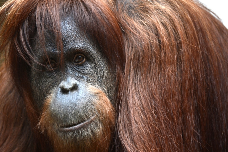 <p>Orangutans like this one are critically endangered, but drones are helping conservationists keep an eye on the giant apes and other animals.</p>