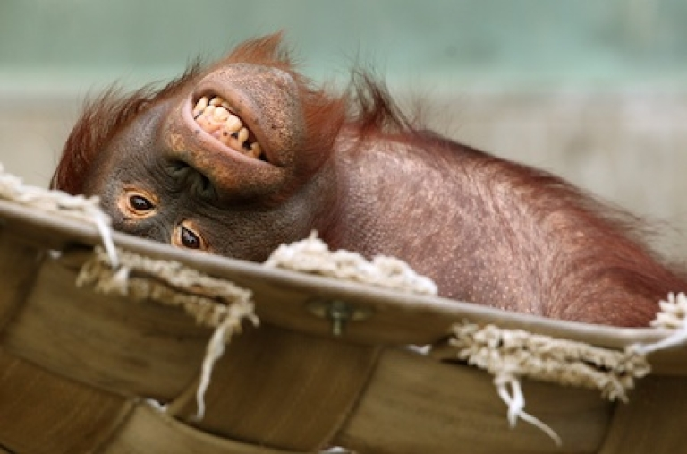 <p>An orangutan relaxing on January 24, 2012 at a zoo in Krefeld, Germany.</p>