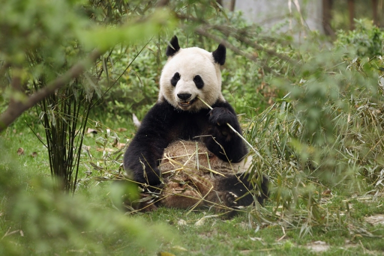 <p>Pandas are an endangered species.</p>