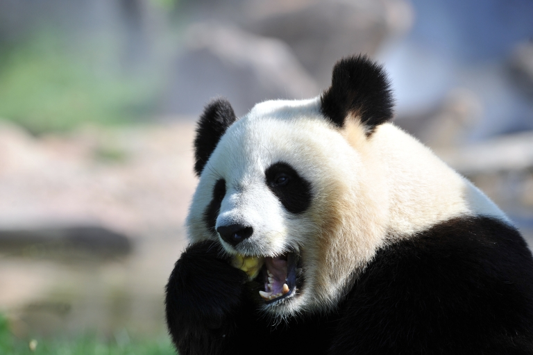 <p>Yuan Zi, one of two giant pandas that arrived last winter in France from China, eats an ice, in August at Beauval zoo in Saint-Aignan, central France.</p>
