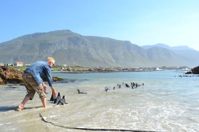 <p>African Penguins swim in the ocean waters of Betty's Bay near Cape Town. Soon the penguins will be diving for small fish.</p>