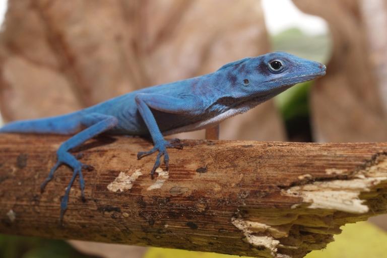 <p>A blue anole (Anolis gorgonae), a highly threatened lizard, apparently smarter than birds.</p>